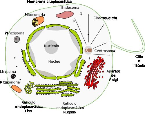 4. Células de animales y células de vegetales