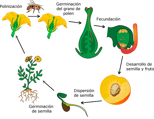 Reproduccion asexual de las plantas angiospermas