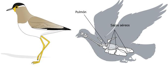 Resultado de imagen para respiración pulmonar en aves